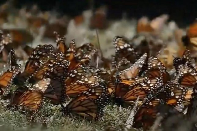 Monarch butterflies cluster together in February at the Cerro Pelon sanctuary in central Mexico before traveling north. Photo courtesy Butterflies & Their People, A.C.