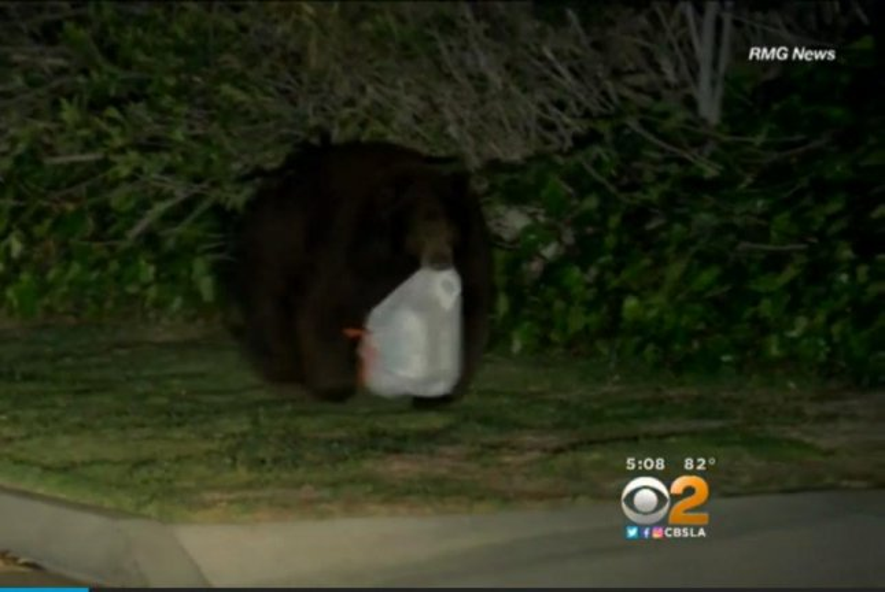 A bear carries a trash bag stolen from an Arcadia, Calif., garbage bin. Screenshot: CBS Los Angeles