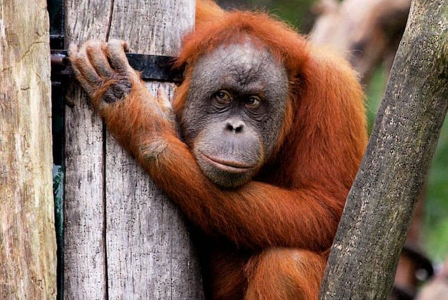 Orangutans make economic decisions related to tool usage. Photo by Alice Auersperg