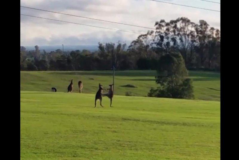 Boxing kangaroos interrupt photographer's tranquil landscape