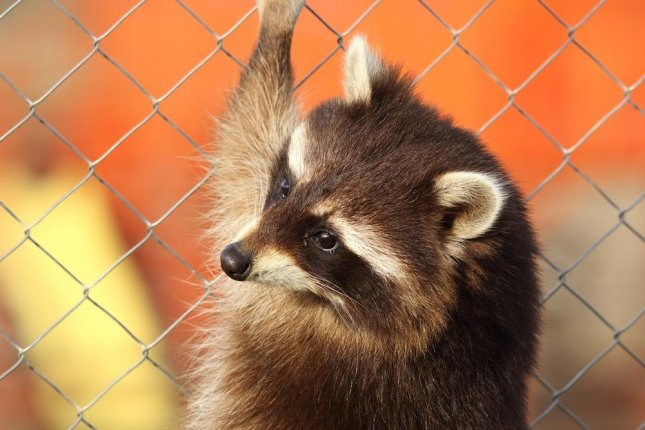 Raccoon causes power outage for 40,000 Seattle residents - UPI com