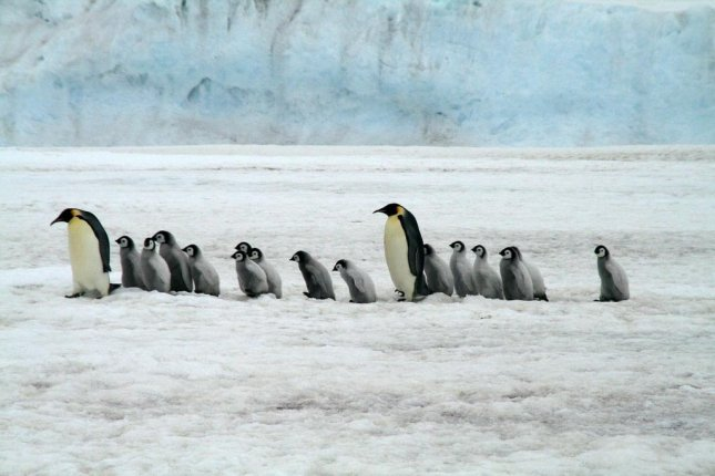 Some studies suggest Antarctica's emperor penguin population could decline by 50 percent by 2100. Photo by Public Domain/CC