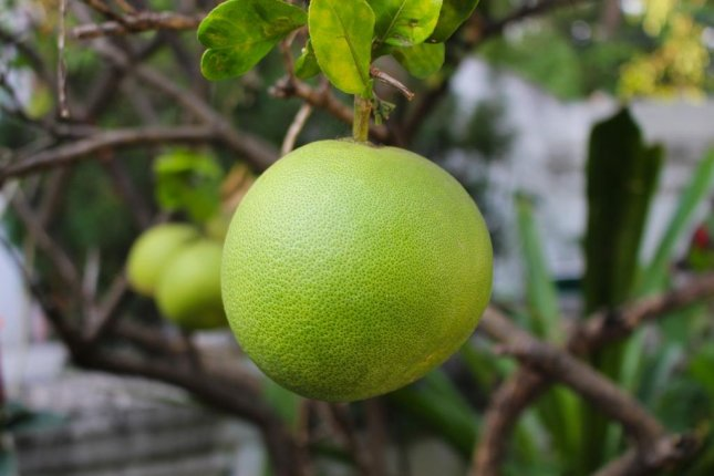A Hawaii family said a pomelo fruit that grew on a 50-year-old tree on their property is about 2 pounds heavier than the current Guinness World Record. Photo by terimakasih0/Pixabay