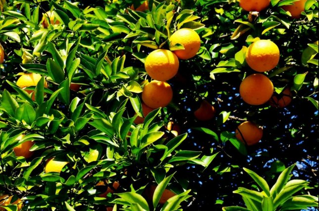 A new genomic analysis has uncovered the genetic origins of Japan's most popular mandarin varieties. Photo by Pxhere/CC