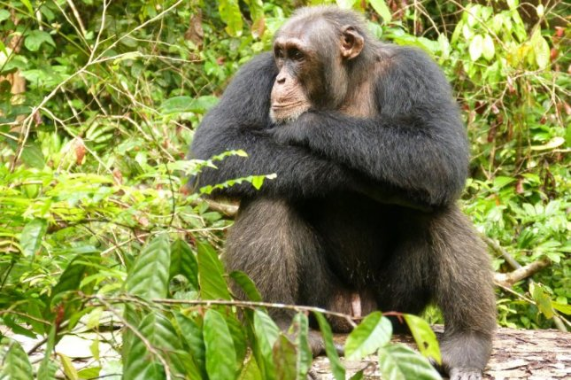 Scientists determined chimps are more stressed and less aggressive during periods of social instability. Photo by Anna Preis/MPG