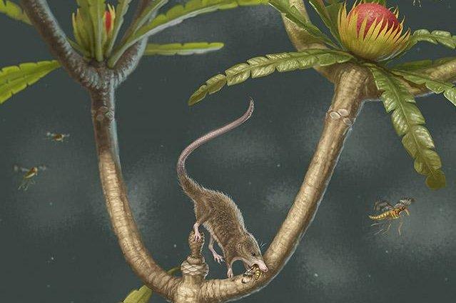 An ancient shrew-like, tree-dwelling species was one of the earliest mammalian ancestors to boast U-shape hyoid bones. Photo by April Neander/University of Chicago