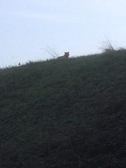 A tiger spotted outside of Paris was just a big cat./Ville de Montevrain Facebook