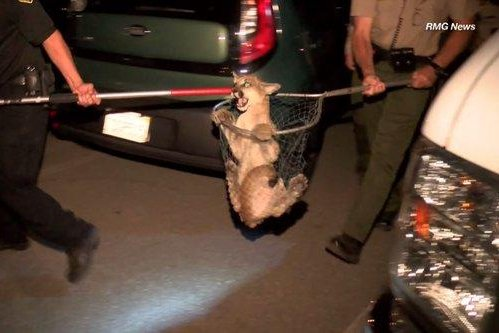 Mountain lion caught in net near California bowling alley