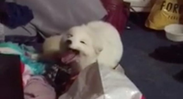 Kristina Shafer shared video of her pet arctic fox Archer laughing on command. Archer mimics Shafer's boyfriend Kyle Infante's laugh by creating a high-pitched sound.  Screen capture/Kristina Shafer/Facebook