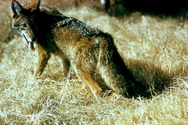 Hundreds of thousands of coyotes are killed by Wildlife Services every year. (U.S. Fish and Wildlife Service)
