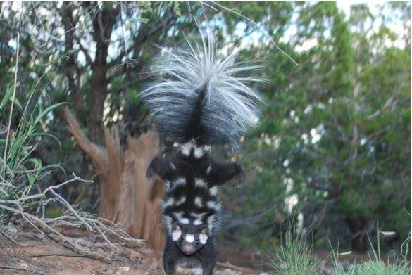 The western spotted skunk does hand-stand when spraying. Adam Ferguson determined climate change 1 million years ago led to the animal's evolution. Photo by Jerry W. Dragoo/American Association for the Advancement of Science