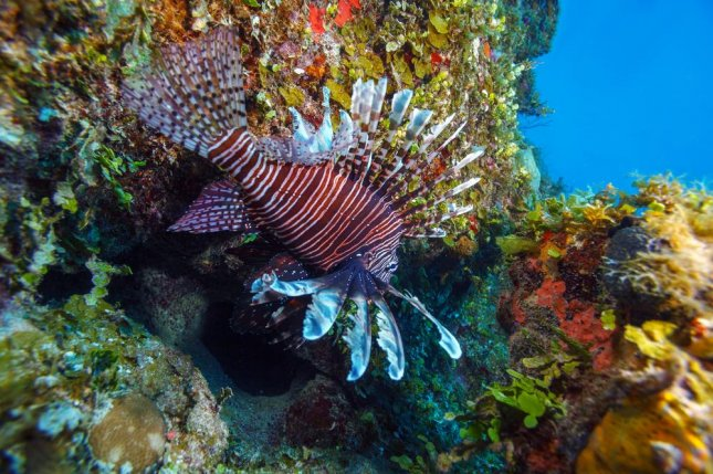 A Lionfish (Pterois) swims near coral off the coast of Cuba. Photo by Rostislav Ageev/Shutterstock