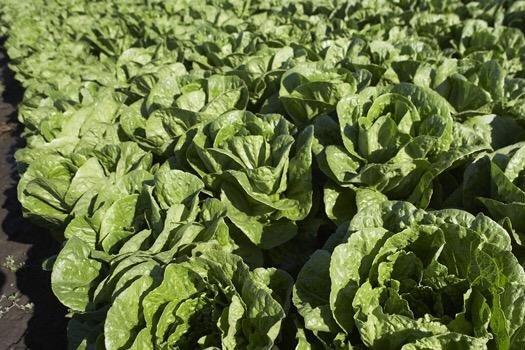 The romaine industry is working to eliminate E. coli outbreaks. Photo courtesy of the California Leafy Green Products Handler Marketing Agreement