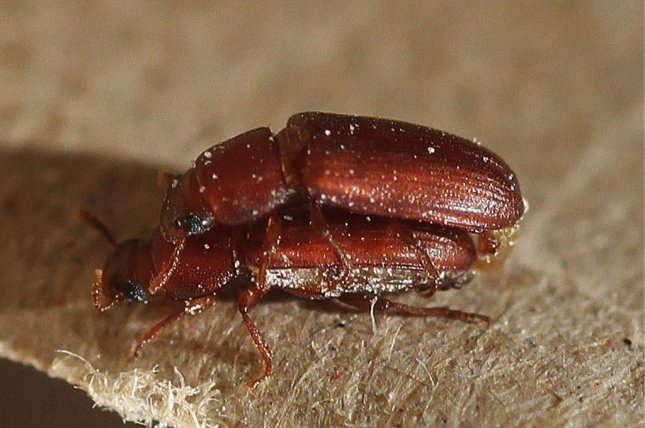When scientists forced monogamy on flour beetles, they were less able to cope with environmental stressors and genetic bottlenecking. Photo by University of East Anglia