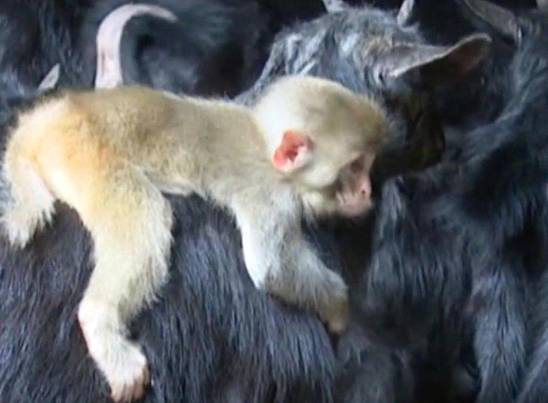 Baby monkey befriends herd of goats in China