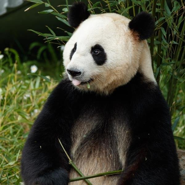 A panda escaped from its enclosure at the Copenhagen Zoo in Denmark and was found wandering loose in the zoo's garden. Photo courtesy of the Copenhagen Zoo