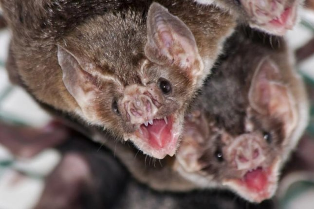 Vampire bats released into the wild maintain the friendships they made in captivity, according to a new study. Photo by Oasalehm/Wikimedia Commons