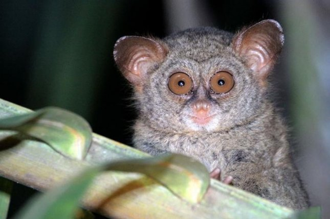 The Sangihe Tarsier, a primate living on the Indonesian island of Sangihe, is one of several vulnerable species threatened by deforestation caused by coconut production. Photo by Stenly Pontolawokang