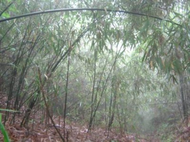 Bamboo grove in China. Credit: Andres Vina, MSU Center for Systems Integration and Sustainability