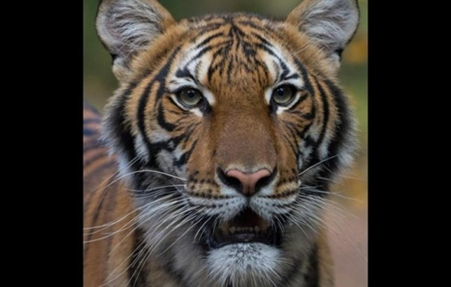 A 4-year-old Malayan tiger at the Bronx Zoo tested positive for COVID-19 and five other tigers and lions developed a dry cough after interacting with an asymptomatic caretaker who was infected with the virus. Photo courtesy Wildlife Conservation Society.