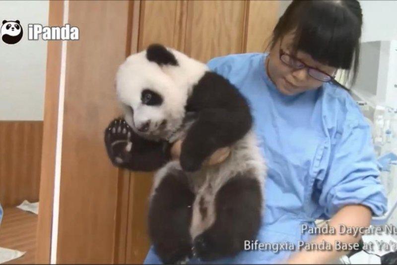 A panda being held by its nanny. Storyful video screenshot
