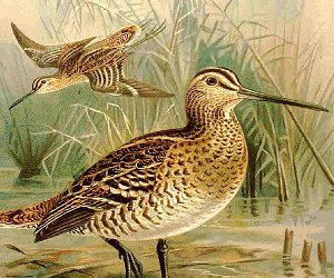 An illustration of great snipes, via Wikimedia Commons.