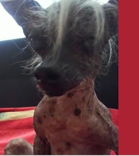 SweePee Rambo, a seriously ugly 4-pound Chinese Crested chihuahua, took the coveted title over the weekend of World's Ugliest Dog in Sonoma Phto from Sonoma-Marin Fairgrounds.