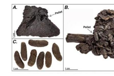 Fossilized rodent fecal matter, surprisingly found in California's La Brea Tar Pits, could offer insight on climate and environment 50,000 years ago, researchers say. Photo courtesy of University of Oklahoma