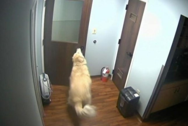 A 10-year-old Great Pyrenees, named General, managed to open three doors in his attempt to escape from a veterinary clinic in Virginia.  Screen capture/NBC Washington
