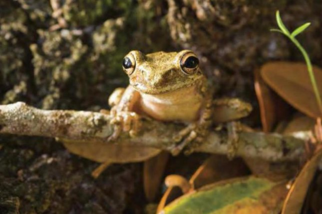 Researchers studied the impacts of the disruption of gut microbes on the immune health of Cuban tree frogs. Photo by the University of South Florida