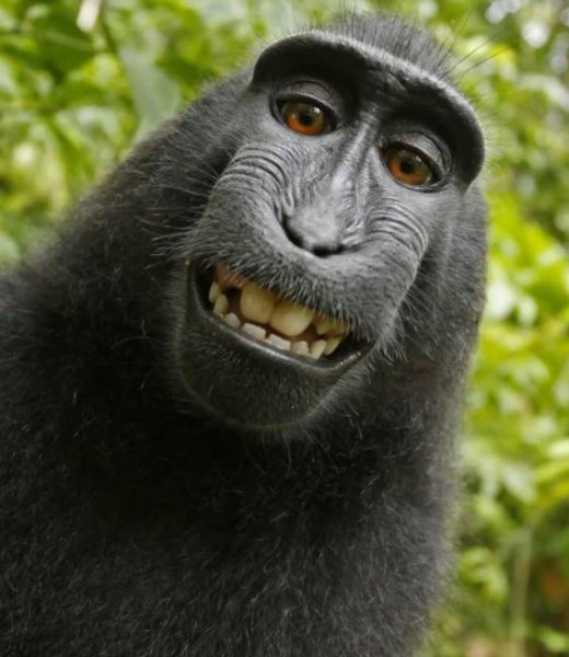 Despite a settlement between a photographer and People for the Ethical Treatment of Animals, the U.S. Court of Appeals is is refusing to dismiss the monkey selfie copyright case. PETA contended that the photo taken with the photographer's equipment belonged to Naruto, a crested macaque monkey. Image courtesy of PETA