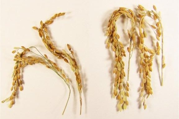 The new rice strain invests more carbon in its yield and less in its roots, resulting in smaller methane emissions. Photo by Swedish University of Agricultural Sciences