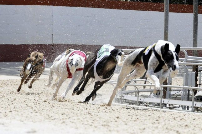 With a greyhound racing ban in Florida set to take effect in 2021, many of the dogs will need new homes. Photo courtesy of Naples-Fort Myers Greyhound Track/Facebook