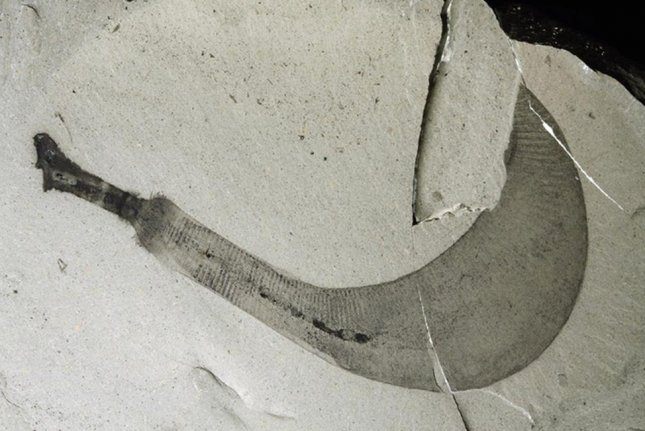 Ottoia penis worm fossil. Image by Martin Smith/University of Cambridge