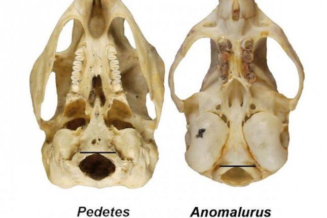 The imaged skulls show the difference in position of the foramen magnum in a bipedal springhare, on the left, and its closest quadrupedal relative, the scaly-tailed squirrel, on the right. Photo by Russo and Kirk/Journal of Human Evolution