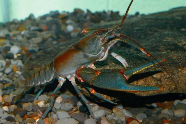 Quest to protect endangered crayfish turns up new species