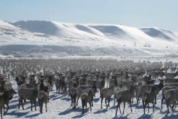 Thousands of elk that are fed at Wyoming winter feedlots risk becoming a vector for chronic wasting disease, wildlife experts say. Photo by Mark Gocke/Wyoming Department of Game and Fish