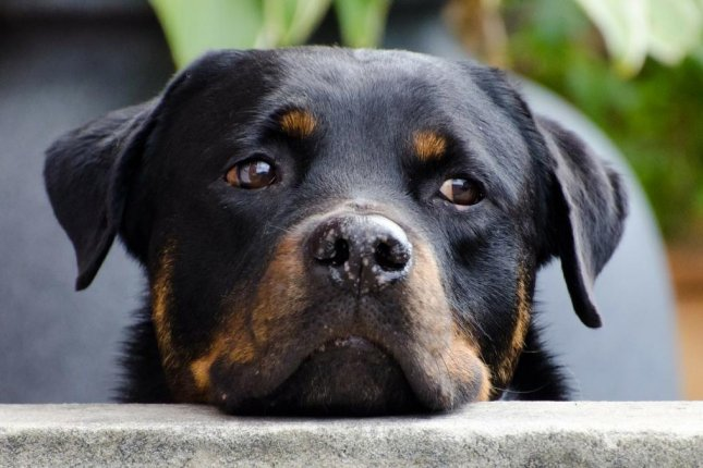 Officials at the Xiangwushan Zoo inXianning, China, said the rottweiler dog spotted in an enclosure labeled for a wolf is only temporarily housed in the habitat to prevent people from using the empty enclosure to sneak into the zoo. Photo by PublicDomainPictures/Pixabay.com