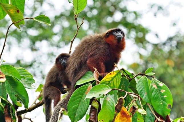 Male red titi monkeys spend much of the day with their offspring. Photo by Sofya Dolotovskaya