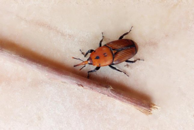 A British couple said they found a red palm weevil -- a non-native species of insect -- inside a package of broccoli they had purchased more than two weeks earlier. Photo by Angeleses/Pixabay.com