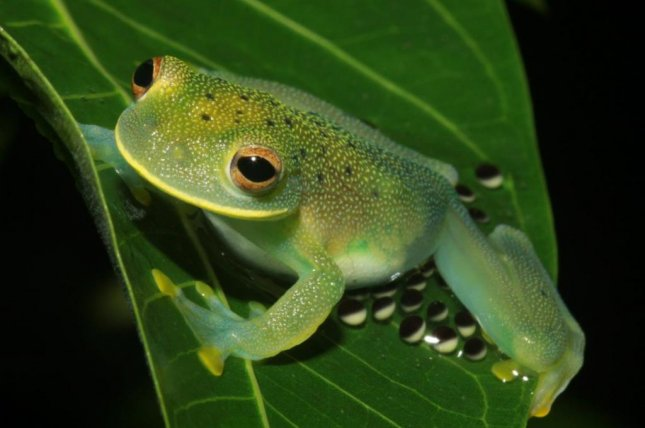 How to Care for a Glass Frog (Centrolene Prosoblepon)