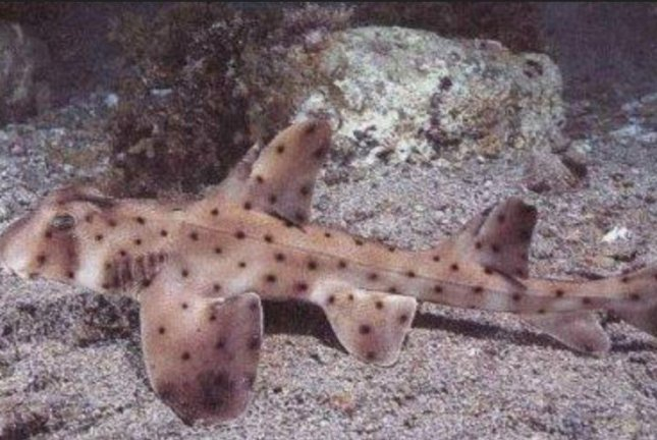 A 1.5-foot-long horn shark was stolen from the San Antonio Aquarium on Saturday. Photo courtesy San Antonio Aquarium