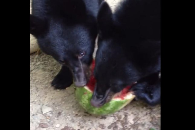 A pair of black bear cubs share a watermelon that fell from a New Jersey woman's deck. Screenshot: Susan Kehoe/YouTube