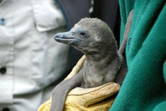 The Calgary Zoo's first Humboldt penguin chick hatched on June 26, 2015. On Thursday, seven penguins of the species were found drowned in their temporary enclosure. Photo courtesy Calgary Zoo