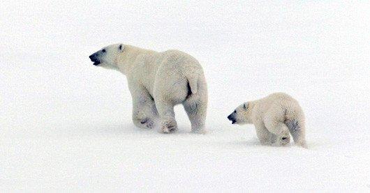 Polar bear mother and cub. Credit: NOAA