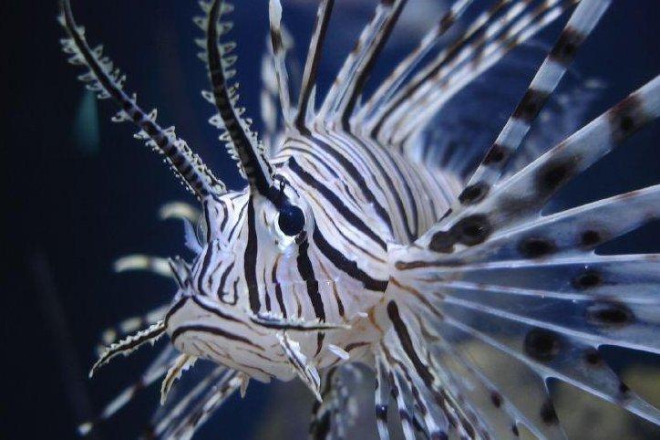 A lionfish (Credit/Joel Rotunda/Wiki Commons)