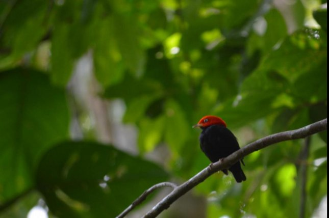 Male red-capped manakins use their superfast muscle to rapidly retract their wings toward their body in an effort to impress potential mates. Photo by Matthew Fuxjager/eLife