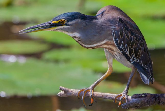 Green herons have been observed using bread and insects as bait to lure and catch fish. Photo by Pxhere/CC