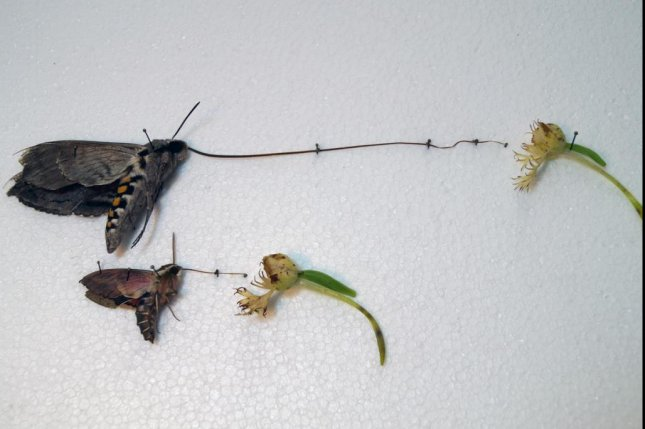 The long tongues of hawk moths allow it to take nectar without getting pollen on its abdomen. Photo by Kirk Anderson/North Dakota State University