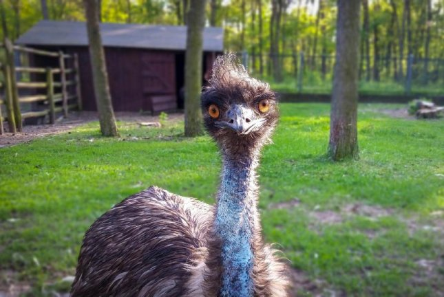 A Michigan family said their escaped emu, named Darwin, was found playing in a resident's sprinkler about a day after escaping from her outdoor enclosure. Photo by pixelRaw/Pixabay.com